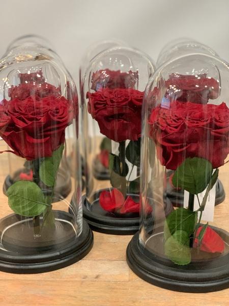 Rose éternelle M
